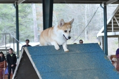 Canine Capers Agility Trial